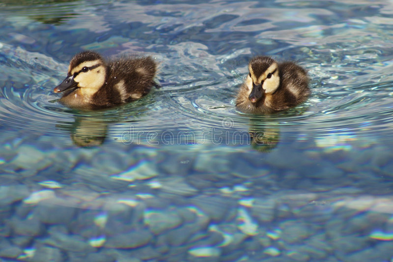 Baby duck 2. Baby duck, florida royalty free stock photography