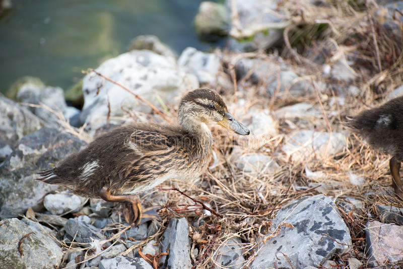 Baby Duck Duckling. Wild duckling standing on rocks royalty free stock photography