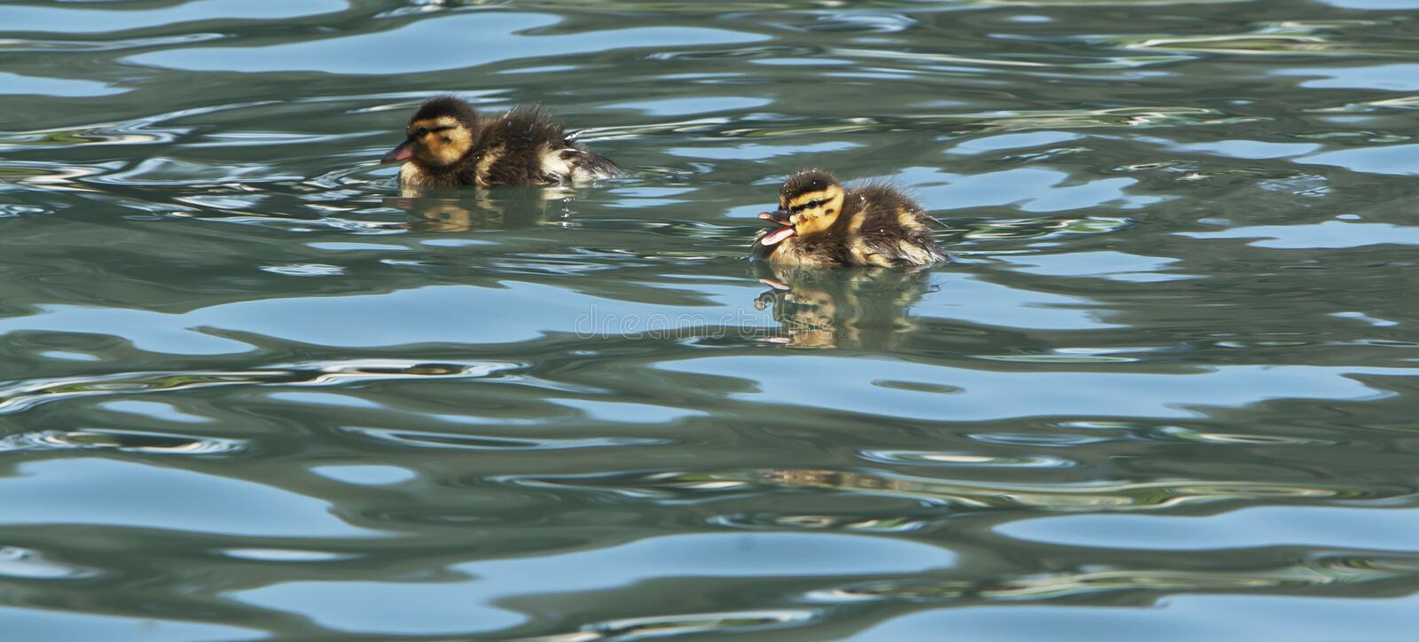 Baby Duck Quacking Swimming. A baby mallard duckling quacking while swimming on rippling pond, second duckling in background royalty free stock photography