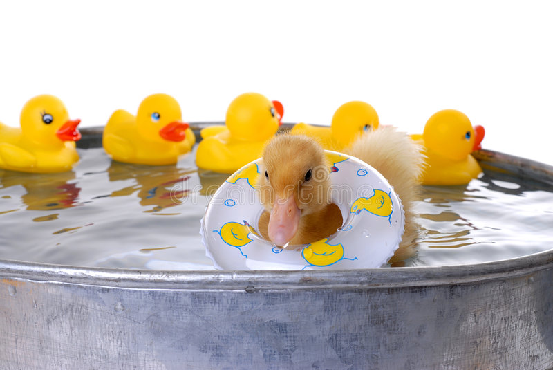Baby Duck Swimming royalty free stock images