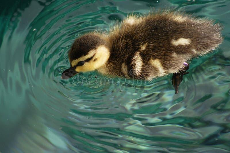 Baby duck1 royalty-vrije stock afbeeldingen