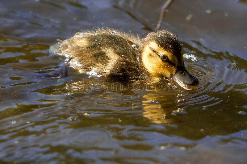 Baby duckling royalty free stock photos