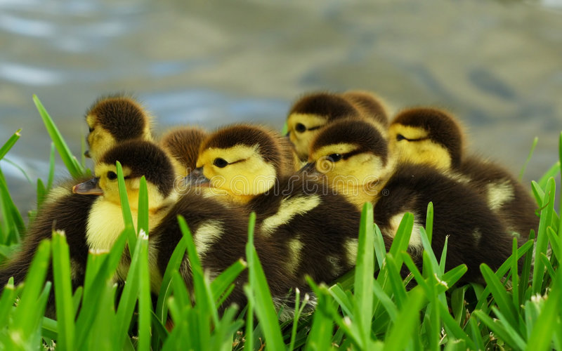 Baby Ducks royalty free stock photos
