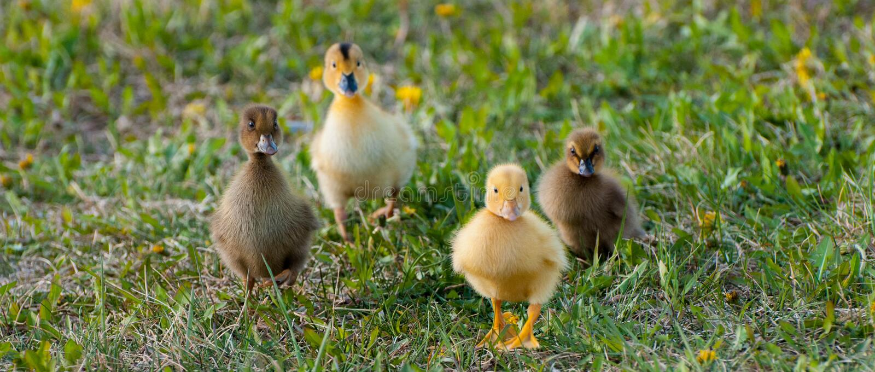 Download Baby Ducks Stock Photo - Image: 41045592