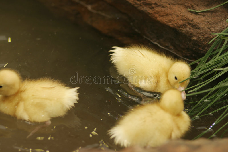 Baby Ducks In A Pond Royalty Free Stock Photos