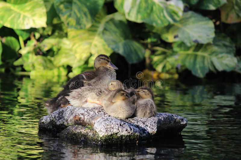 Download Baby ducks stock image. Image of beautiful, chick, feather - 35987287