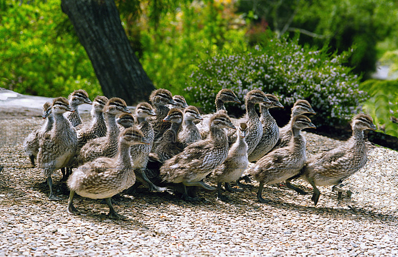 Download Baby ducks on the run. stock image. Image of ducks, baby - 114529