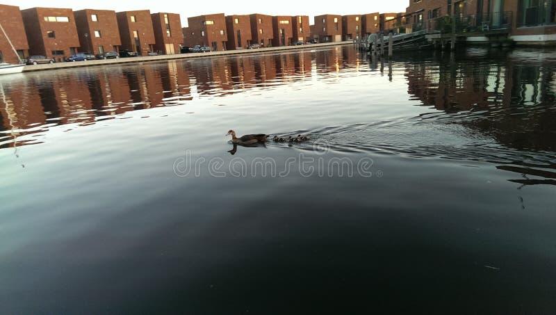 Baby ducks zwimming with mom duck. Baby ducks swimming stock photo