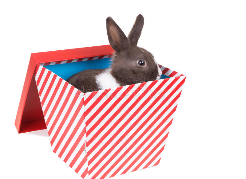 Baby Dutch dwarf rabbit in a gift box. Isolated on white background royalty free stock photos