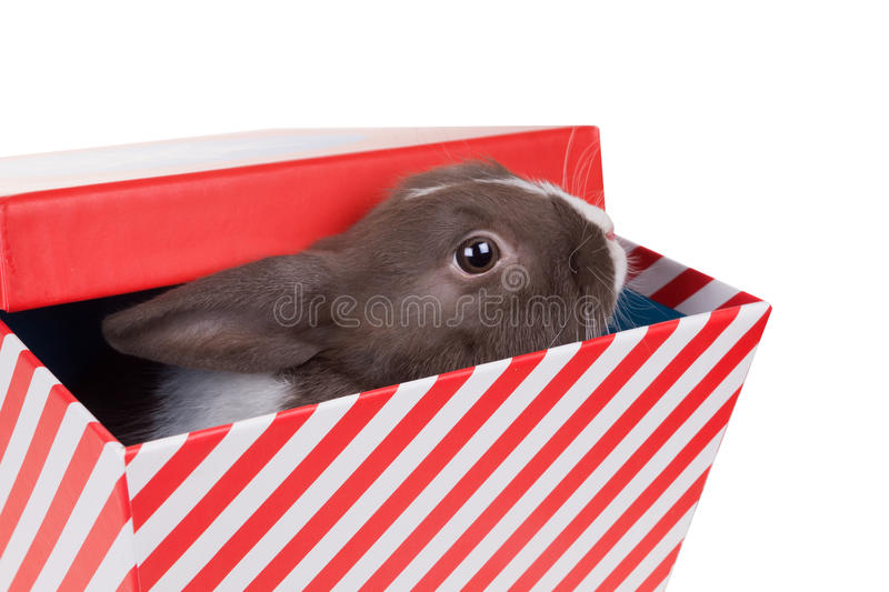 Baby Dutch dwarf rabbit looks out of gift box. Isolated on whit. E background stock photography