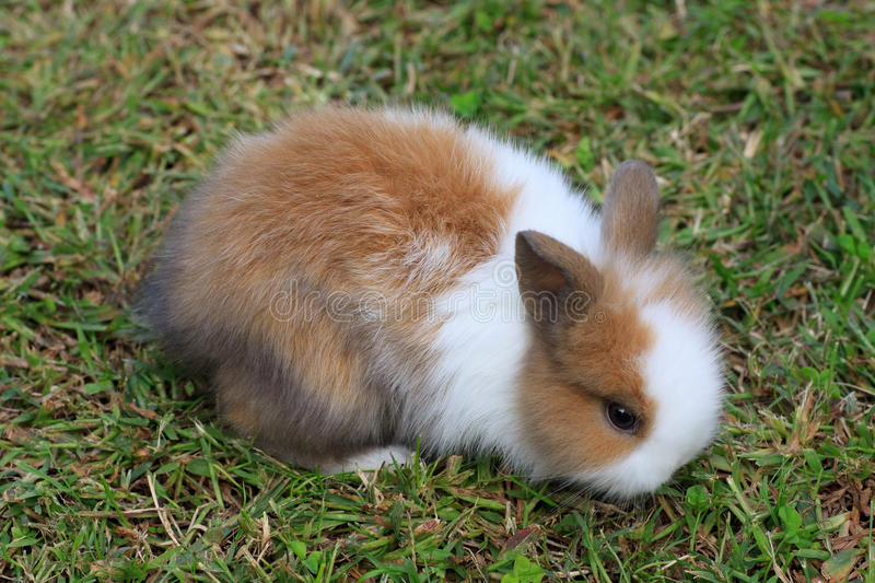 Baby dwarf rabbit. In the grass stock images