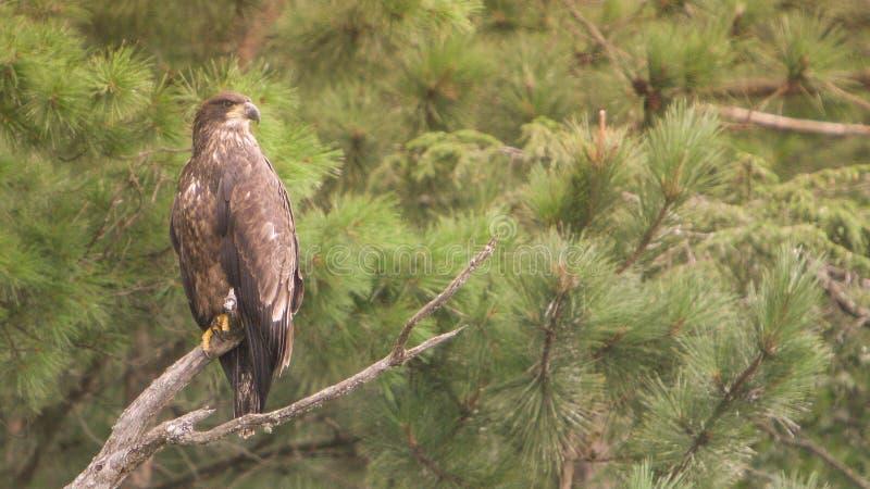 Baby Eagle stock image