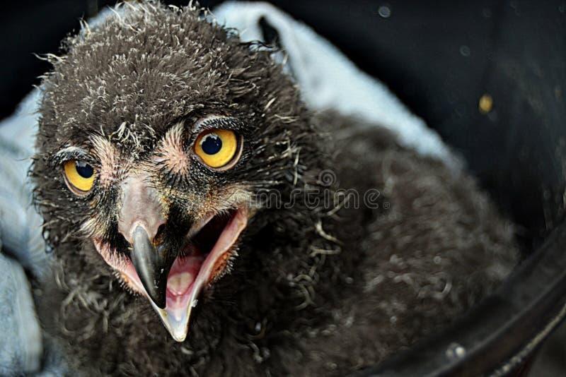 Baby eagle royalty free stock photos
