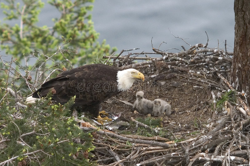Baby Eagles stock photo
