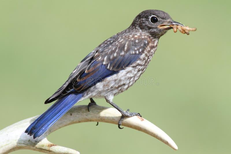 Download Baby Eastern Bluebird stock image. Image of bluebird - 19122065