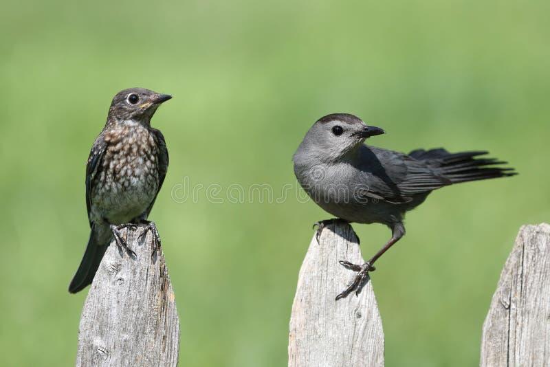 Baby Eastern Bluebird and Gray Catbird stock photo