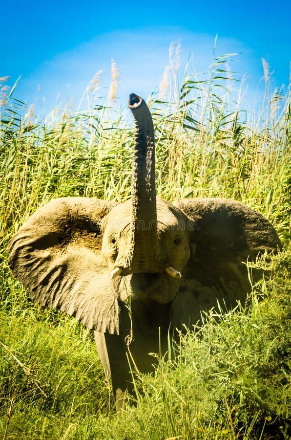 Baby-Elefant hallo lizenzfreie stockfotos