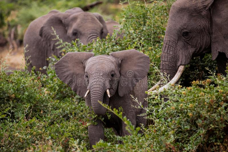 Baby elefant with his mother stock image