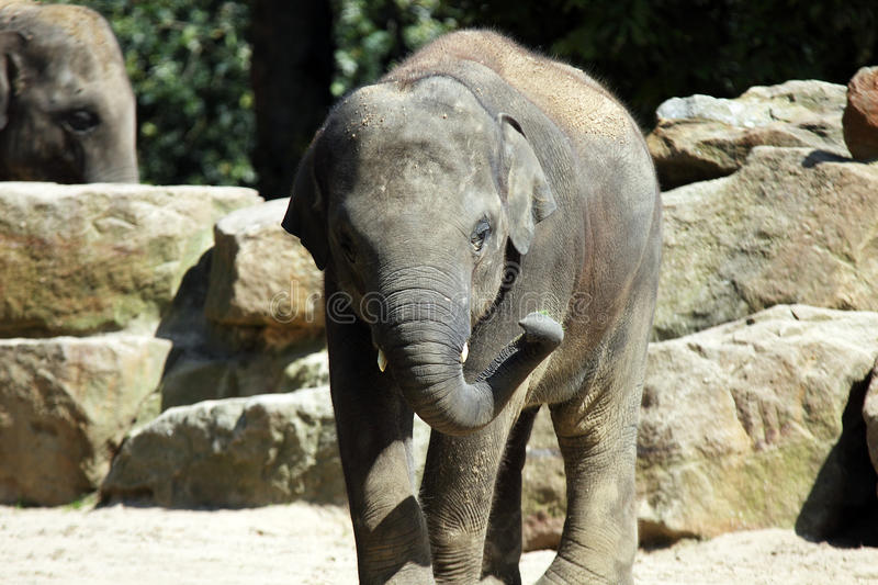 Download Baby elephant stock photo. Image of natural, asia, wild - 20934362