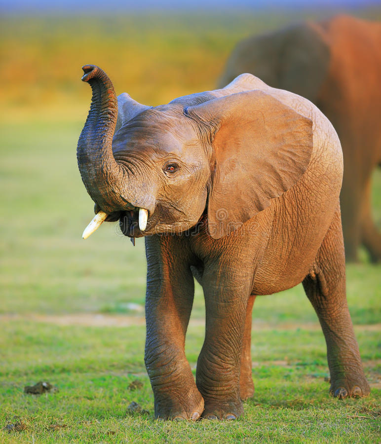 Baby elephant. With raised trunk stock photo