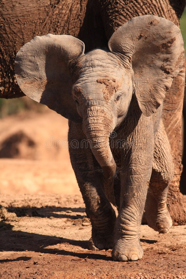 Baby Elephant. Trying To Be Threatening stock photo