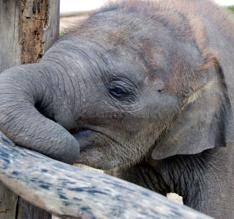 Download Baby Elephant stock image. Image of elephant, wild, closeup - 9013851