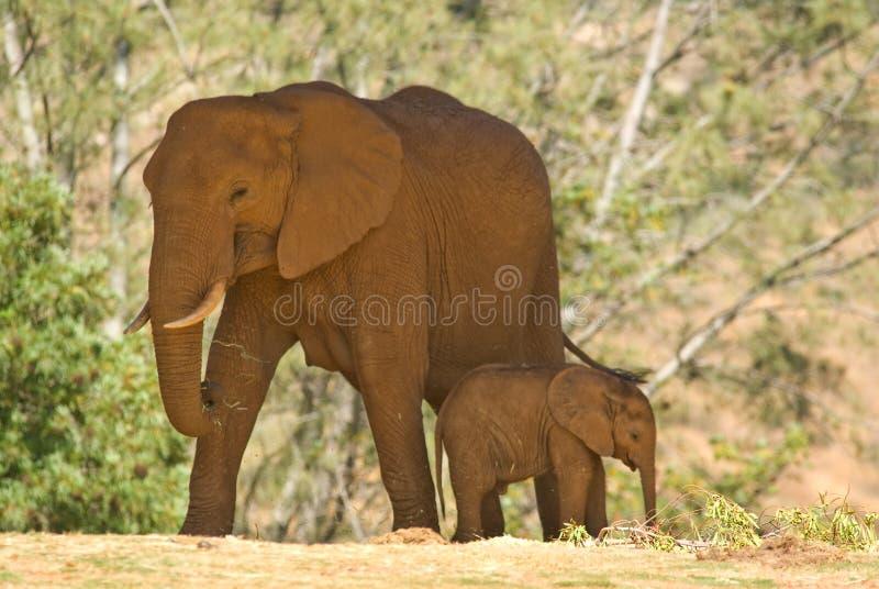 Baby elephant stock photo