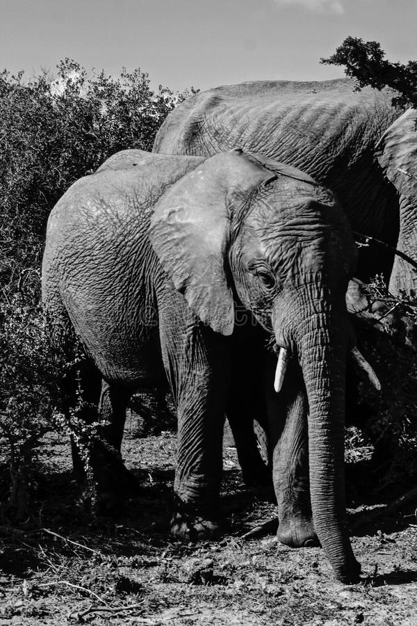 Baby elephant at addo national park stock photo