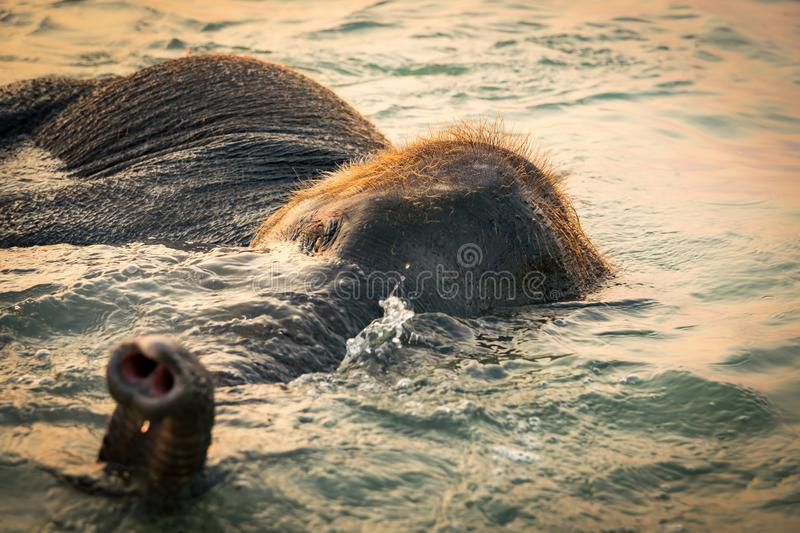 Baby elephant bathing in the sea during sunset stock photos