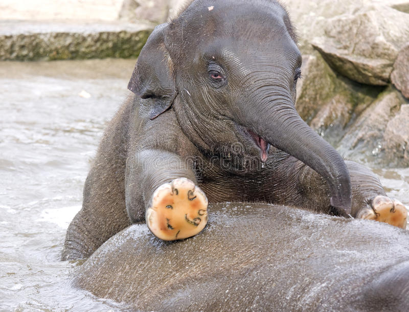 Baby Elephant Calf In Water Stock Image - Image of ...