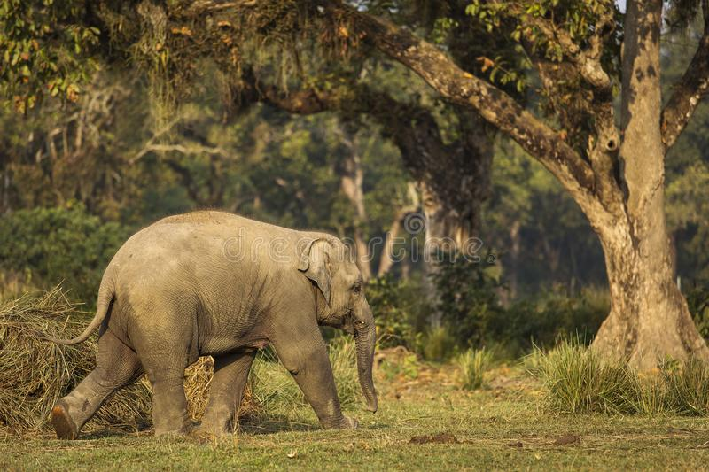Baby elephant in Chitwan Park, Nepal royalty free stock image