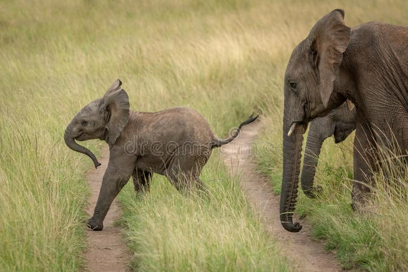Baby elephant crosses track followed by others stock images