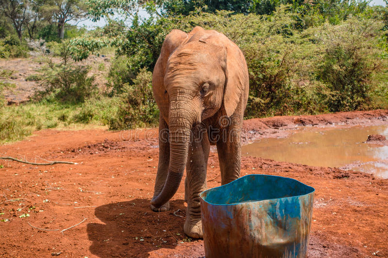 Baby elephant drinking water. An orphaned baby elephant drinking water at the David Sheldrick Wildlife Trust, a park that takes cares of orphaned baby elephants stock image