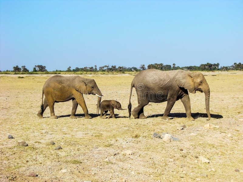 Baby elephant family at Maasai Mara NR, Kenya royalty free stock images