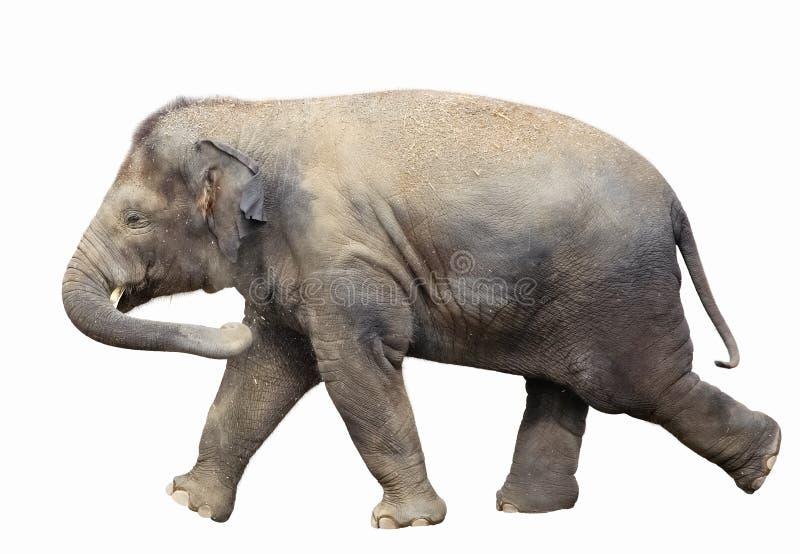 Walking baby elephant isolated on white background stock photos