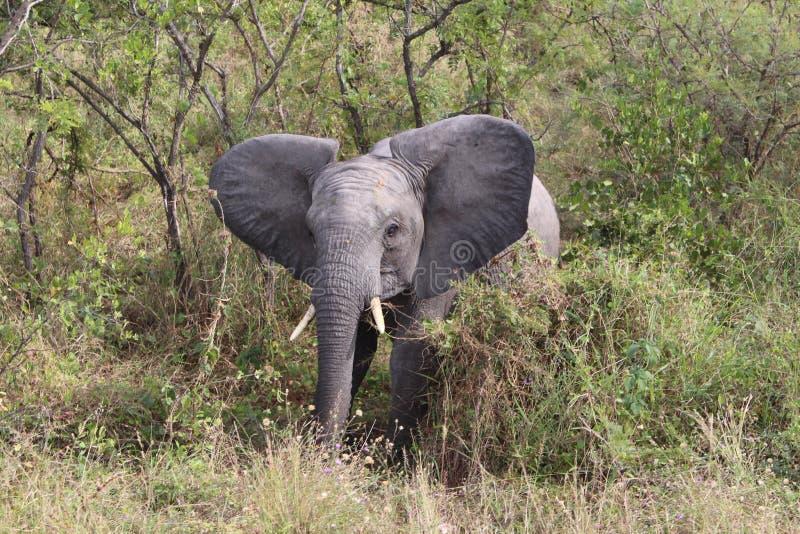 Baby elephant in Krugerpark South Africa. Little elephant Krugerpark South Africa royalty free stock images
