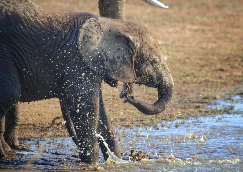 Baby elephant playing in the water. African elephant calf playing in the water in Kruger National park South Africa stock photos