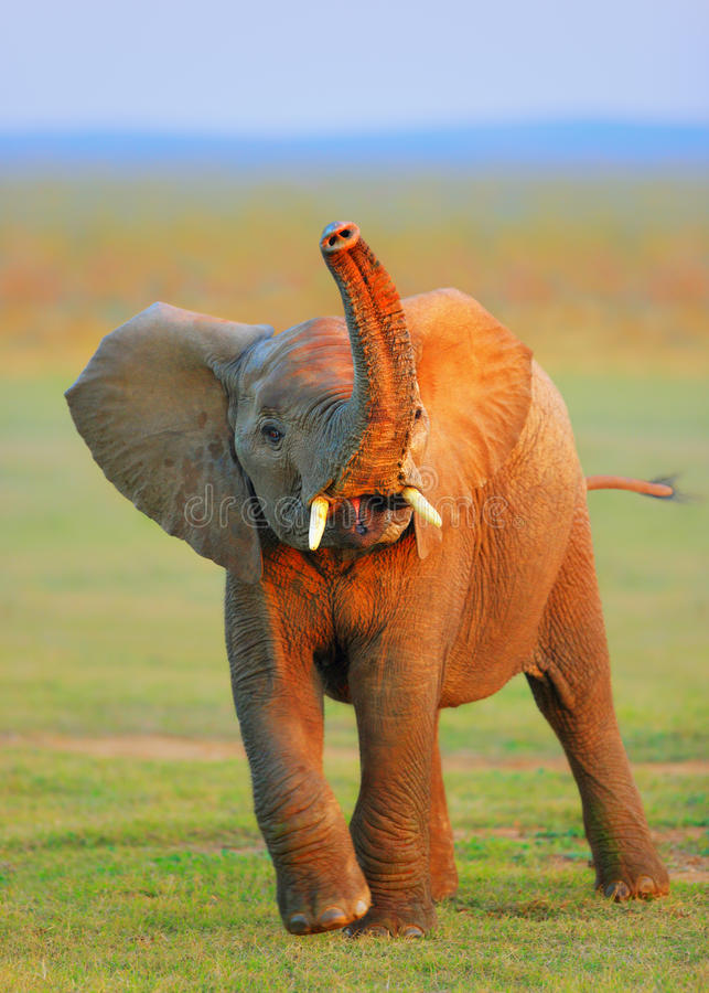 Baby Elephant - raised trunk. Baby Elephant with trunk raised - Addo National Park - South Africa royalty free stock photo