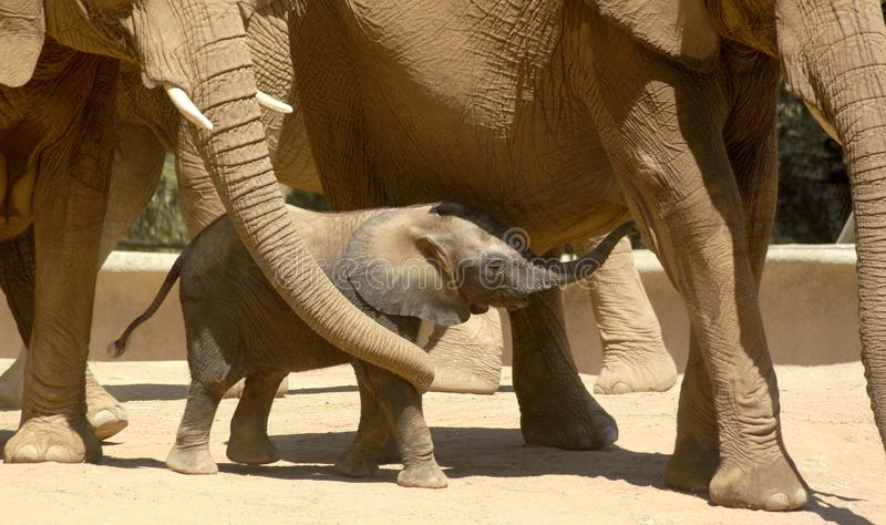 Baby elephant surrounded by family stock image
