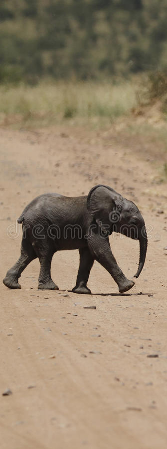 Download Baby Elephant Road Crossing Stock Photo - Image: 24578352