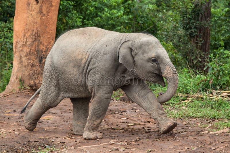 Baby Elephant Running stock photos