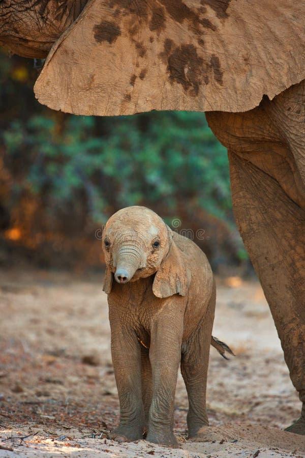 Baby elephant in savannah royalty free stock photos