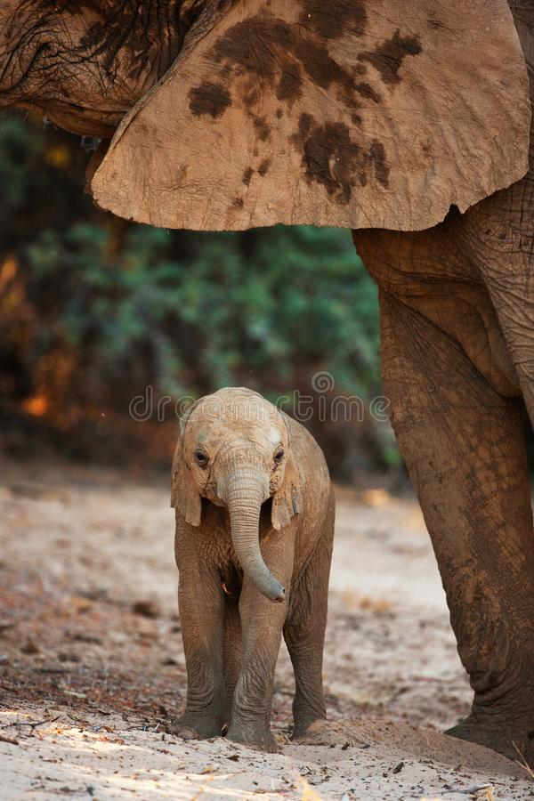 Baby elephant in savannah royalty free stock photography