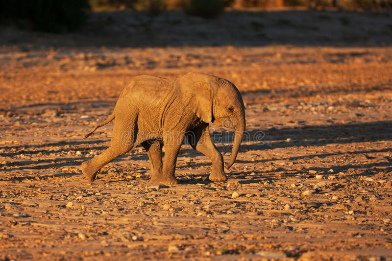 Baby elephant in savannah royalty free stock images