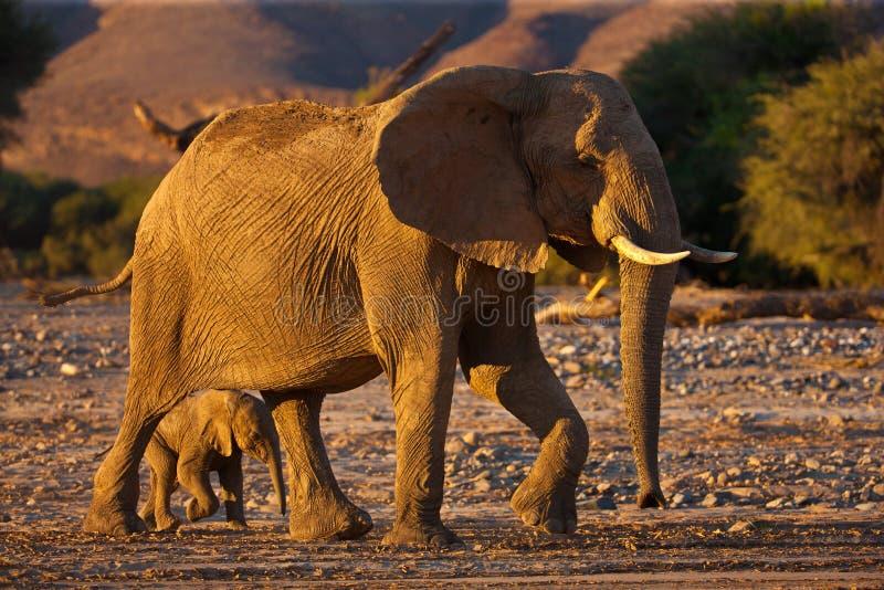 Baby elephant in savannah royalty free stock photo