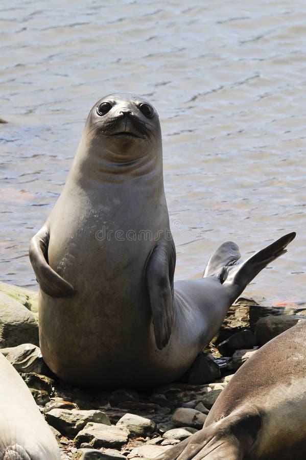 Free Baby Elephant Seal Stock Photography - 61044722