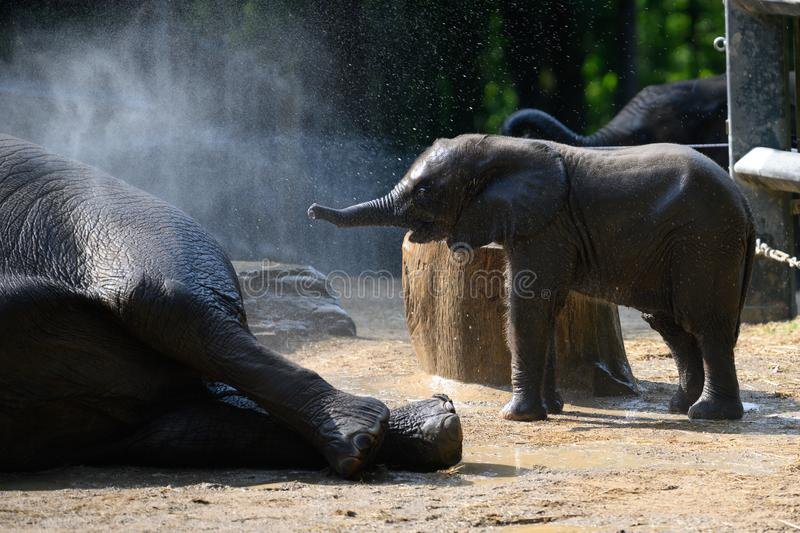 Baby elephant shower in Zoo Wuppertal, Germany. Zookeeper brushing elephant cow and baby elephant. Photo very sharp skin and hairs stock photography
