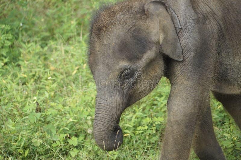 Baby Elephant in Sri Lanka stock image