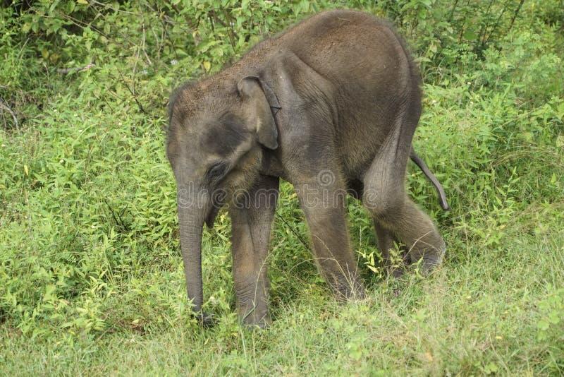 Baby elephant in Sri Lanka royalty free stock photos