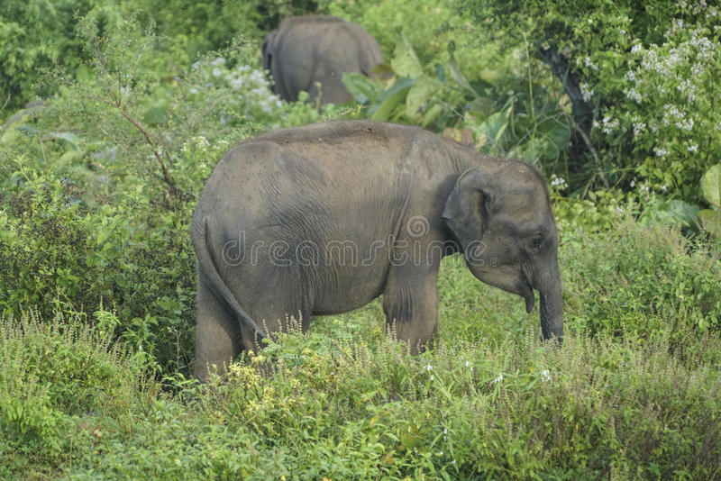 Baby elephant in Sri Lanka stock photography